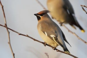wintering birds waxwing