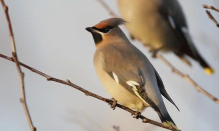 A guide to Wintering Birds